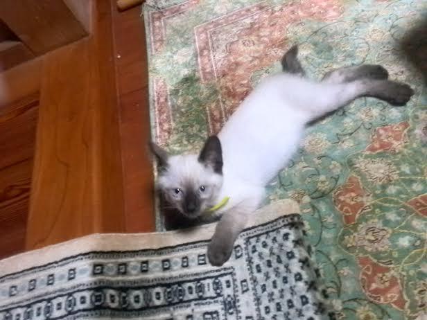 猫 性格 シャム 優美な姿に気難しい性格?シャム猫の歴史や特徴、かかりやすい病気